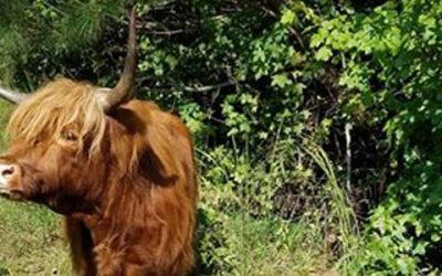 Why Highland Cows?